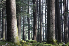 Big peaceful forest Royalty Free Stock Photography