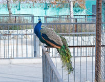 The big peacock Stock Photography