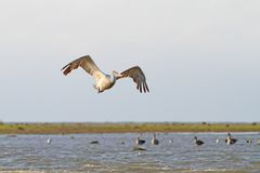 Big pelecanus onocrotalus flying over water Royalty Free Stock Photo