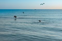 Big Pelican flies over the sea against a blue sky. Blue water color royalty free stock image