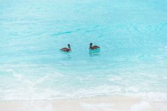 Big Pelican flies over the sea against a blue sky. Blue water color royalty free stock photo
