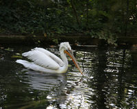 Big pelican with long beak while swimming. Pelican with long beak while swimming on the pond Stock Photography