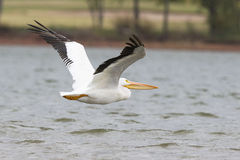 Big pelican over Lake Hefner in Oklahoma Stock Images