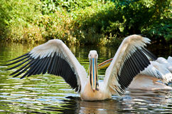 Big Pelican Royalty Free Stock Image