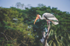 Big Pelican. Pelican stand on the branch Stock Photography