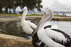 Big pelicans near the water Stock Images