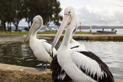Big pelicans near the water Stock Image