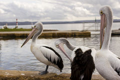 Big pelicans near the water Royalty Free Stock Photo