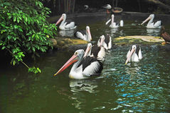 Big pelicans Royalty Free Stock Photography