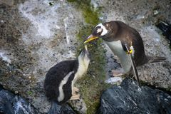 Penguin feeds the little one. Big penguin feeds a little penguin in zoo Stock Image