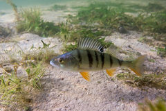 Big perch Royalty Free Stock Images