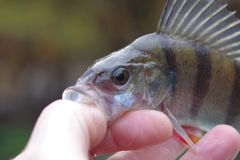 Big perch royalty free stock photography