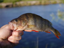 Big perch royalty free stock photo