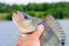 Big perch fish Royalty Free Stock Photos
