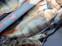 Big perch Stock Photo
