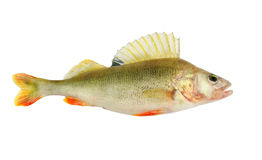 Big perch isolated on white Royalty Free Stock Photos