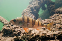 Big perch in the lake Stock Photography