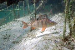 Big perch in the lake Stock Photo