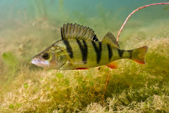 Big perch. Perch on the plants background stock photography