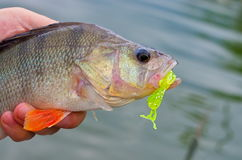 Big perch silicone bait Stock Photography