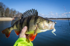 Big perch for softbait Royalty Free Stock Photo