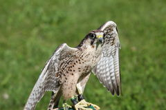Big Peregrine Falcon with outstretched wings ready for flight Stock Photos