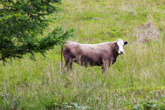 Big perky bull on Scottish pasture looking straight Royalty Free Stock Image