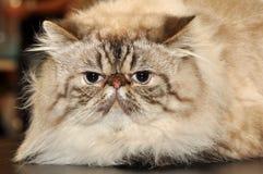 Big Persian cat Royalty Free Stock Images