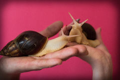 Big pet snails. In the palms Royalty Free Stock Image