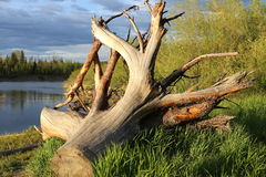 A big piece of wood lying by the river. Royalty Free Stock Image