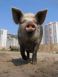 Big pig. And modern apartment buildings Stock Image