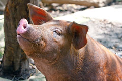 The big  pig Stock Photo