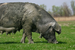 Big Pig royalty free stock photo