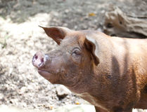 The big  pig Royalty Free Stock Image