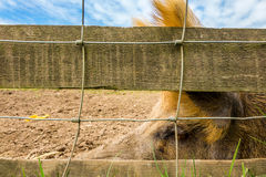 Big pig behind a fence Royalty Free Stock Photos