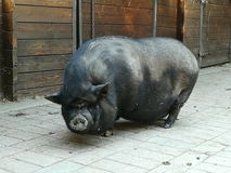 Big pig! Royalty Free Stock Photography