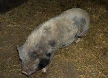 Big pig boar livestock nose. Big pig boar livestock heavy body Stock Photos