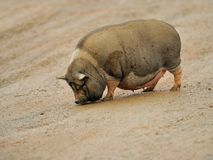 Big pig. A dirty big pig is walking on the ground Stock Photos