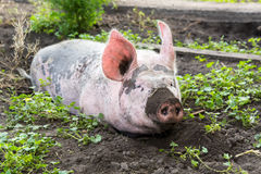 Big pig on the farm Royalty Free Stock Image