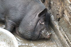 Big pig Royalty Free Stock Images