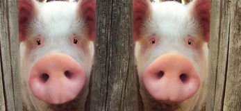 Big pig Royalty Free Stock Image