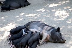 Small piglet drinking milk from breast in the zoo stock photography