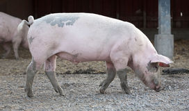 Big pig full-length profile Stock Images