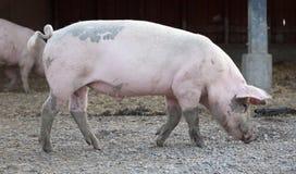 Big pig full-length profile. On animal farm background stock images