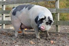Big Pig Royalty Free Stock Photography