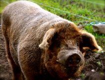 A big pig in New Hampshire Royalty Free Stock Images