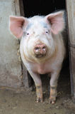 Big pig posing at the camera Stock Photography