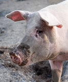 Big pig profile snout Royalty Free Stock Photos