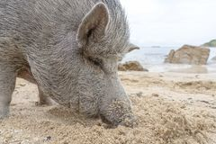 Big pig on the sand beach in the island of Phangan, Thailand stock images