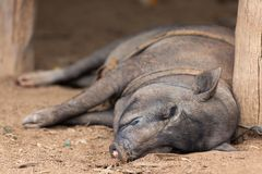 Big pig sleeping Stock Photos